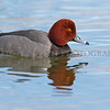 Redhead Duck at the mouth of the Huron River, Wayne County, Michigan.