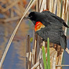Red-winged Blackbird in a courtship display for a nearby female.