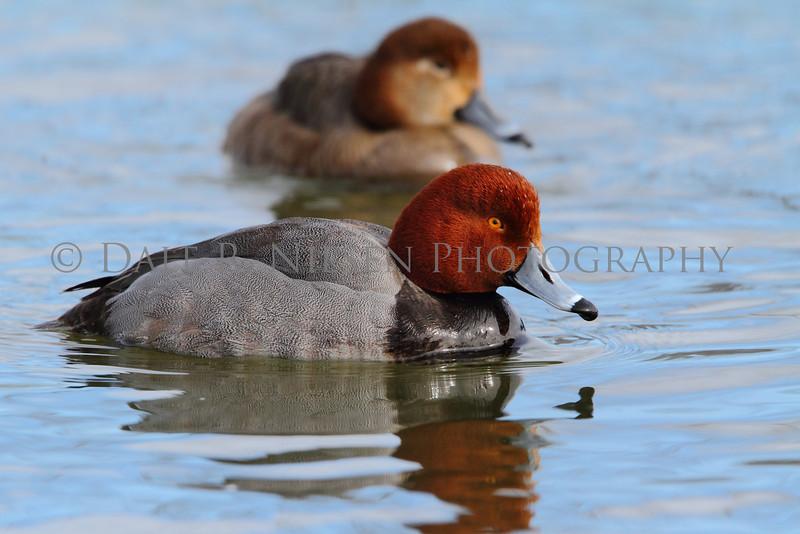 Redhead Ducks at the mouth of the Huron River, Wayne County, Michigan.