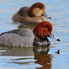 Redhead Ducks at the mouth of the Huron River, Wayne County, Michigan.