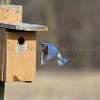 Eastern Bluebird flying to its nesting box.
