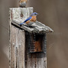 Easrtern Bluebirds on a nesting box.