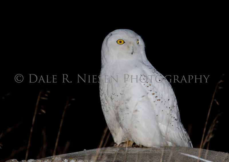 Snowy Owl taken near Muskegon, Michigan at dust using flash.