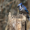 Blue Jay at the stump feeder