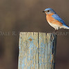 Eastern Bluebird portrait