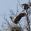 Great Blue Herons at their nesting rockery passing nesting material from one to the other at Kensington Metro Park.