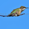 Ruby-throated Hummingbird (female)