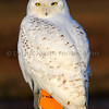 Snowy Owl, Michigan