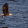 A Bald Eagle with a fish on the Mississippi River in Iowa.
