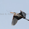 Great Blue Heron flying a stick to his mate during nest building.