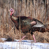 Wild Turkey in the woods of Michigan