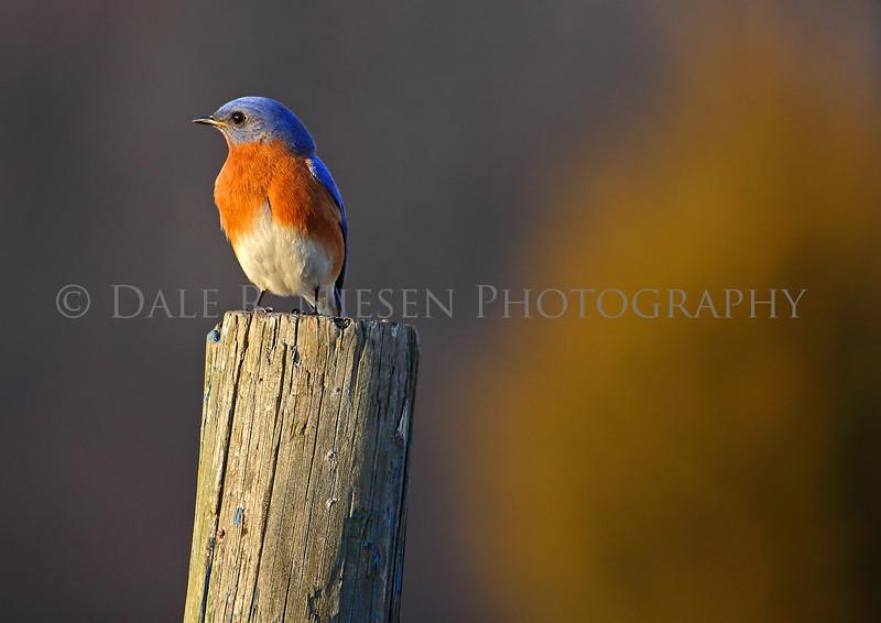 An Eastern Bluebird enjoying a sunset.