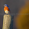 An Eastern Bluebird enjoying a sunset.