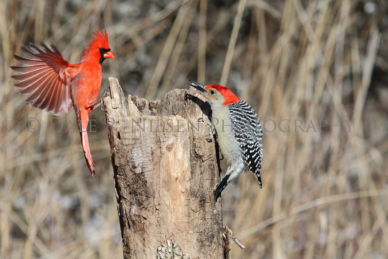 Face off at the stump feeder.