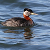 Red-necked Grebe in Brownstown Creek, Lake Erie Metro Park, Wayne County, Michigan March 6, 2014