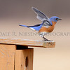 Eastern Bluebird doing a courtship display on top of a nesting box.