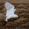 Snowy Owl taken near Muskegon, Michigan (capture #2)