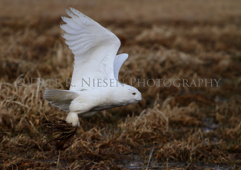 Snowy Owl taken near Muskegon, Michigan (capture #2)