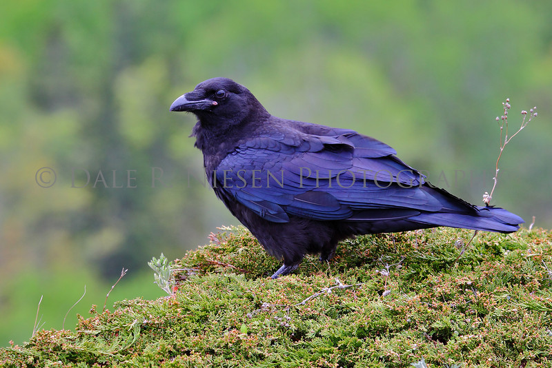 A Raven on the edge of a cliff Brockway Mountain, Copper Harbor, Michigan