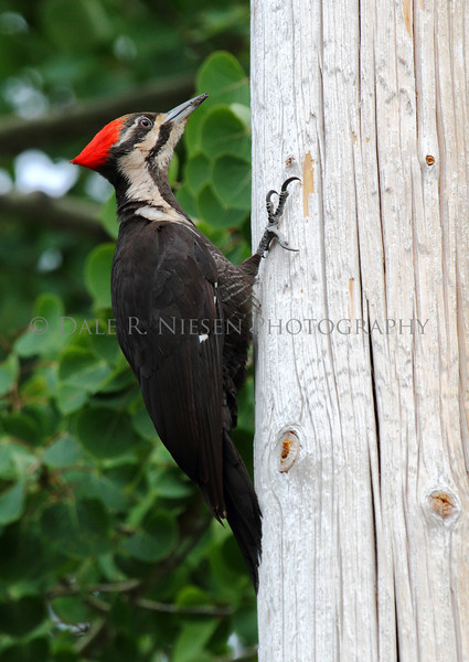 Pileated Woodpecker photographed in Copper Harbor, Michigan.