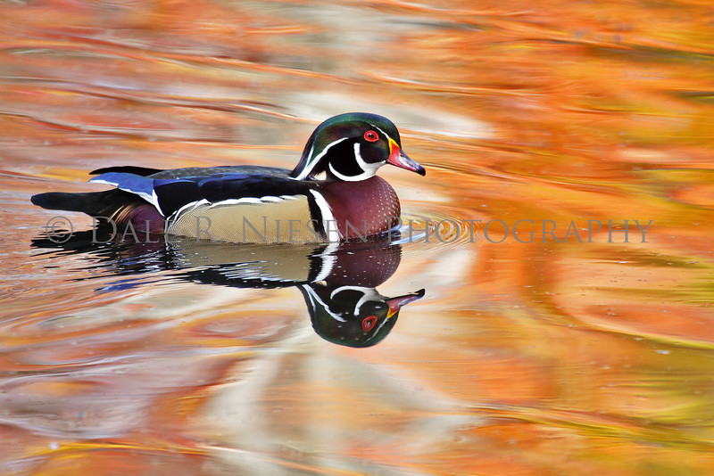 Wood Duck and Fall color reflections (Ohio)