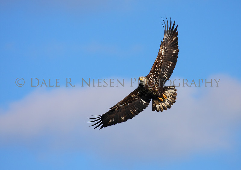 Juvenile Bald Eagle over the Detroit River at Lake Erie Metro Park, Brownstown Township, Michigan