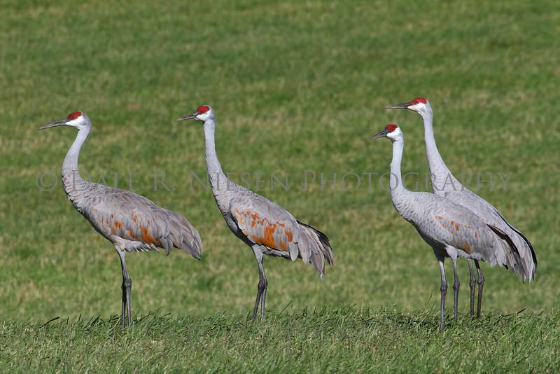 Sandhill Cranes near Grass Lake, Michigan