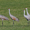 Sandhill Cranes near Grass Lake, Michigan