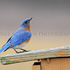 Eastern Bluebird, Michigan