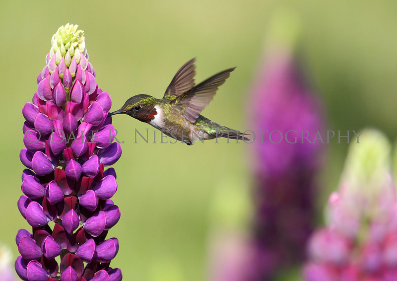 Ruby-throated Hummingbird feeding on a Lupine flower.