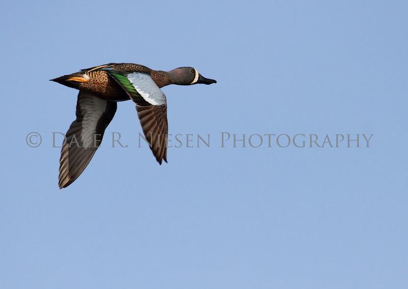 Spoonbill duck