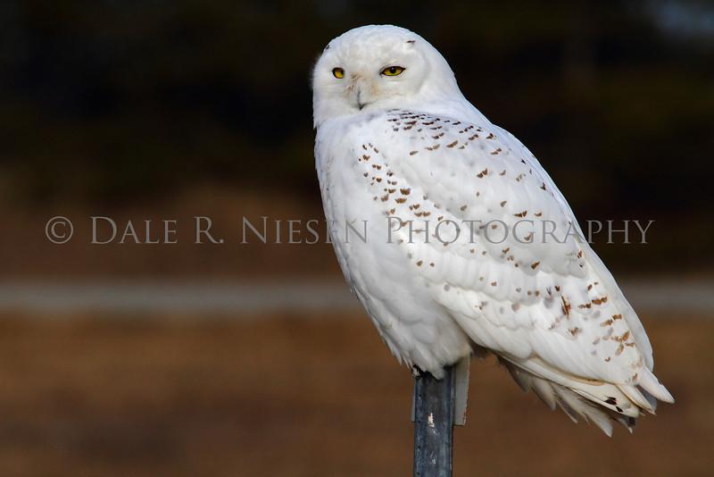 Snowy Owl, Michigan