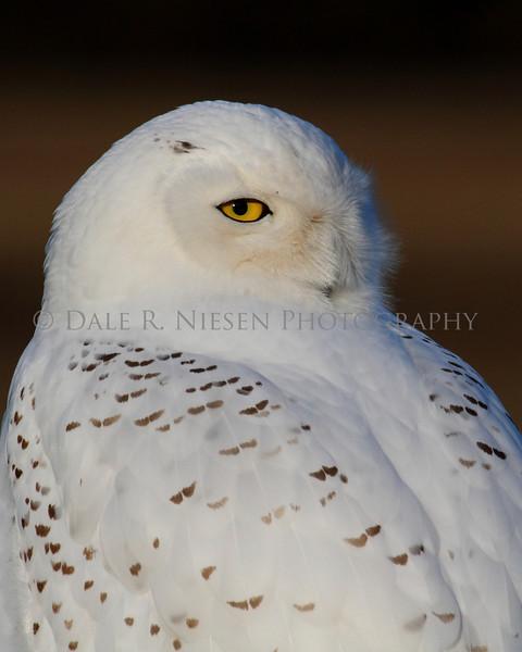 Snowy Owl taken near Muskegon, Michigan