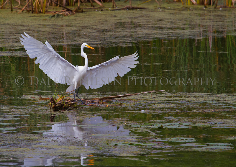 Great Egret landing in a marsh