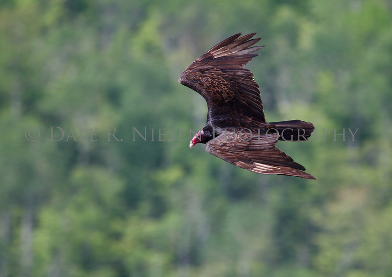 Turkey Vulture aka turkey buzzard