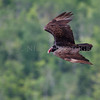 Turkey Vulture aka turkey buzzard