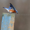 Eastern Bluebird ready for take off...