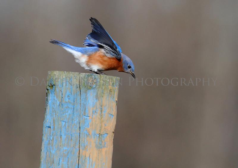 Eastern Bluebird ready for take off...