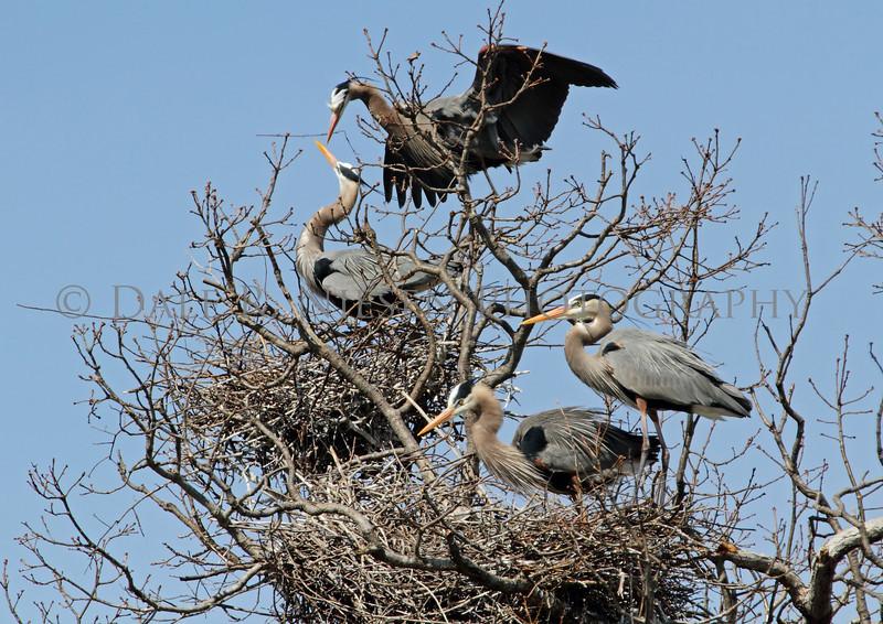 Great Blue Herons at their nesting rockery at Kensington Metro Park.