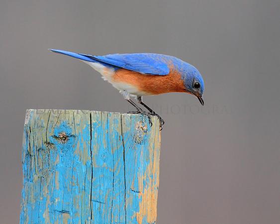 Esatern Bluebird looking for lunch