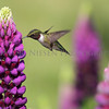 Ruby-throated Hummingbird feeding on a Lupine flower.