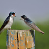 Tree Swallows in a debate over a fence post.