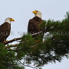 A pair of Bald Eagles resting in a White Pine along the shore of Whitefish Bay near Bay Mills, Michigan
