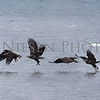 "Juvenile Bald Eagle fishing sequence photo.  This photo shows the steps an eagle takes in capturing a fish from above.  NOTE: The best fit for this image as a print would be the 10""x 30"" panoramic"