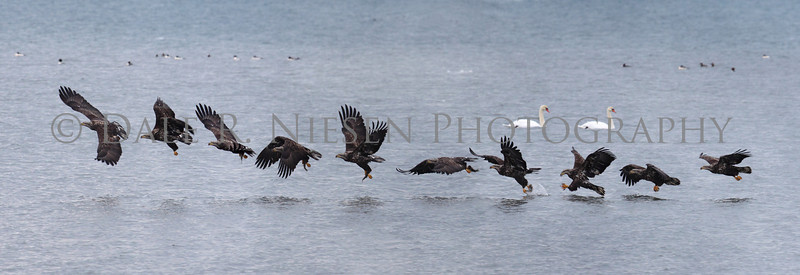 """Juvenile Bald Eagle fishing sequence photo.  This photo shows the steps an eagle takes in capturing a fish from above.  NOTE: The best fit for this image as a print would be the 10""""x 30"""" panoramic"""