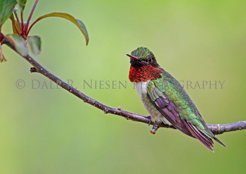 A  defiant male Ruby-throated Hummingbird takes a rest after defending his territory from other hummingbirds.