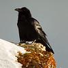 2 Raven on Soda Butte Cone