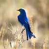 Sialia currucoides: Mountain Bluebird