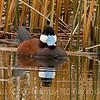 Ruddy Duck reflection