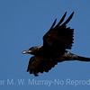 Old Mr. Raven